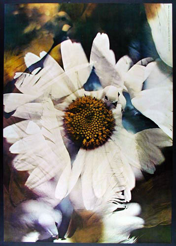Doves & Daisies Poster